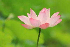 lotus-radicale-aanvaarding-Tara-Brach-boek-op-coachingmetsanne.com-life-coaching-Den-Haag-e1470901467793